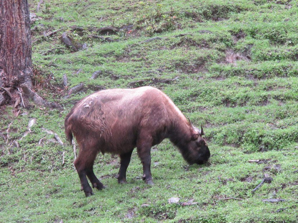 Reserva natural de takin en thimpu. Butan. Animal tipico de Bhutan. Viajar a Bhutan. Viaje a Butan.